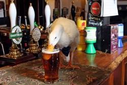Пьяная утка подралась с собакой