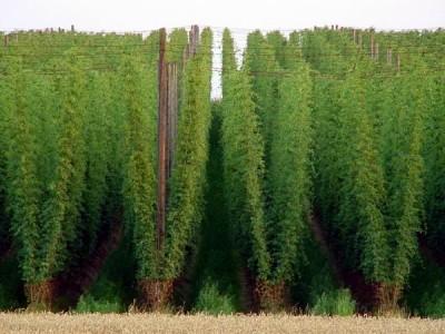 В США станут больше выращивать хмеля