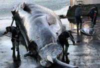 В Исландии начали варить пиво из мертвых китов